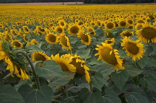 Loire Sunflowers 2