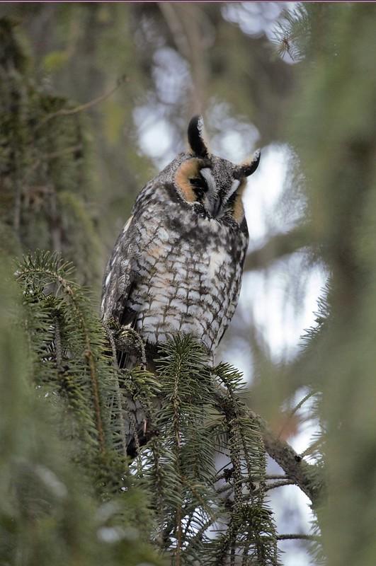 _DSC5966 Long-eared Owl