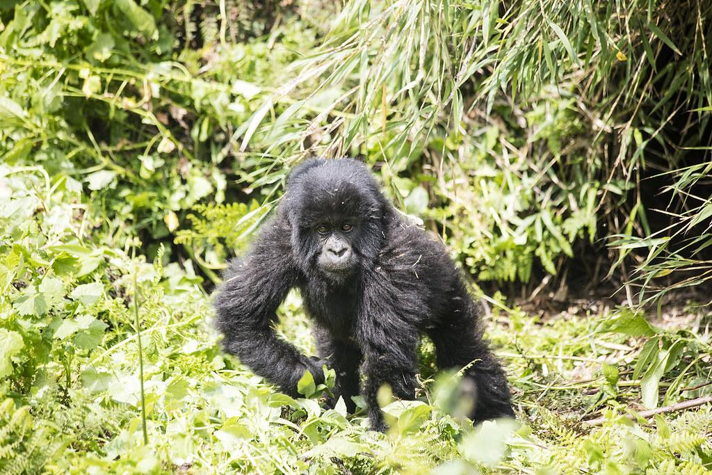 Gorilla Trekking 11