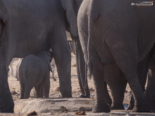 Elefantans on a waterhole