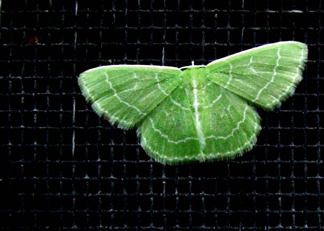Tiny Green Moth