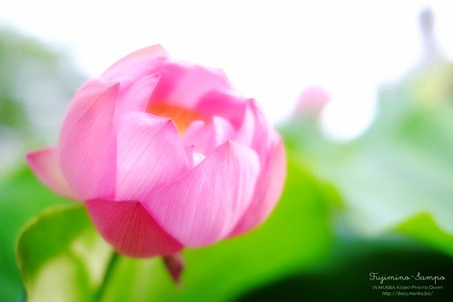 ハスの花 20150610-DSCF5053
