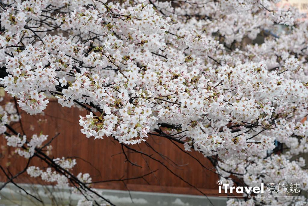 京都赏樱景点 祇园白川 (28)