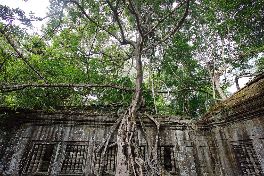 A tree trying to reclaim Beng Mealea.