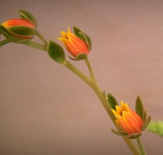 Succulent Blooms Arow