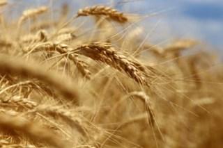 Pretty wheat.