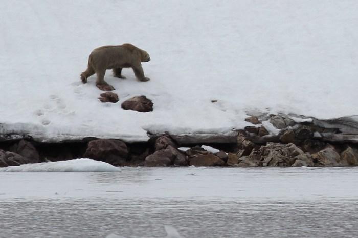 Polar Bear at Burgerbukta Glacier, Svalbad, Arctic
