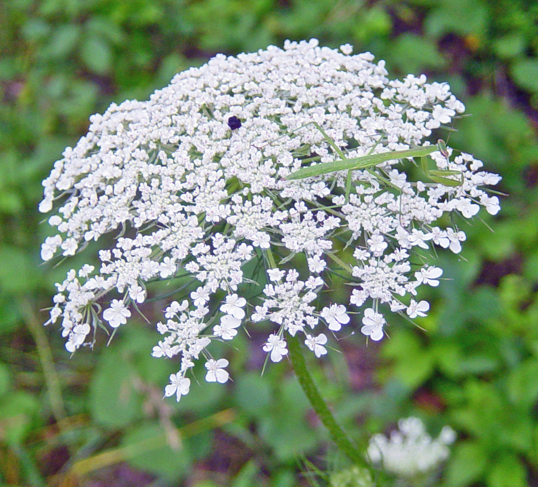 Queen Ann's Lace (Daucus Carota, or Wild Carrot)