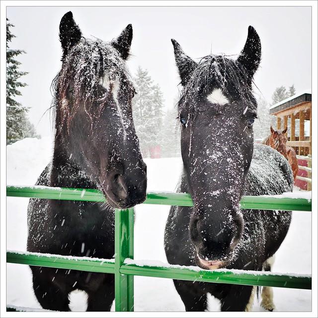 Snowy Pair