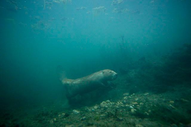 Castor sous l'eau. Copyright Fabien Bruggmann. Avec l'autorisation de l'auteur