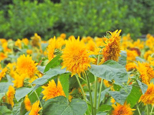 Sunflower, Oiwake Community Woods, Yokohama, Japan