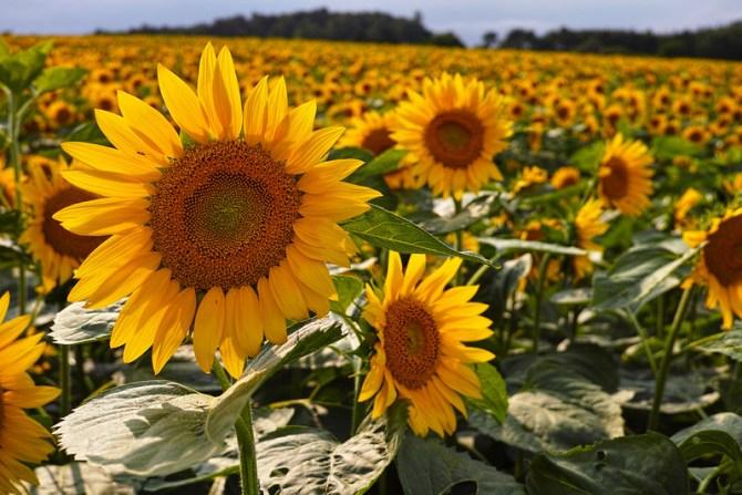 Himawari Sunflowers