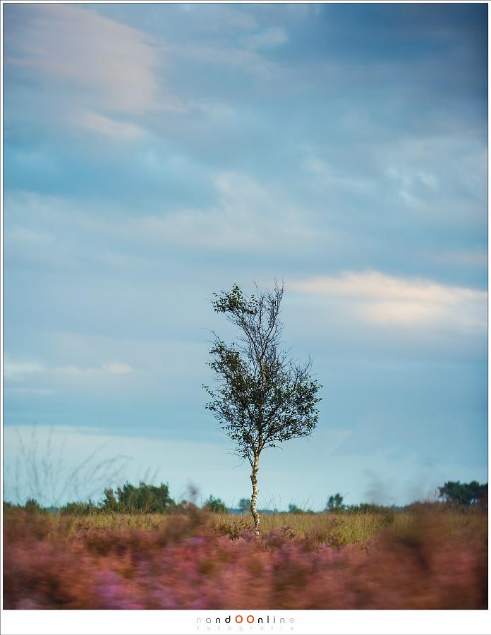 Berk en heide. De onscherpte van de wind in de heide staat in contrast met de schijnbaar roerloze berk. (135mm f/2,8 - 1/10sec)
