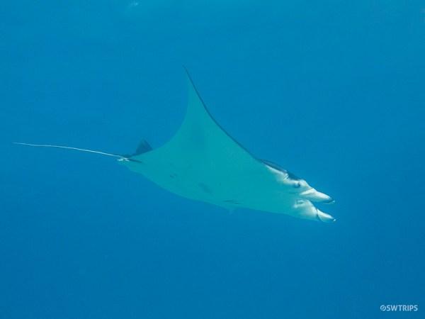 Devil Ray, Great Barrier Reef