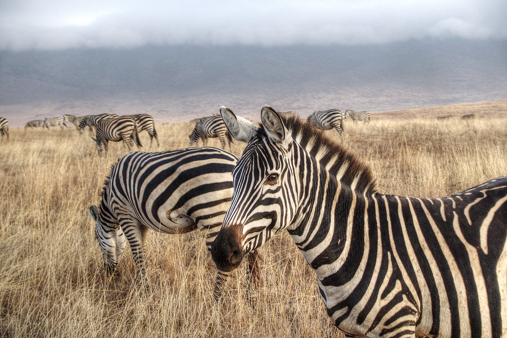 Zebras inside the Ngorongoro Conservation Area
