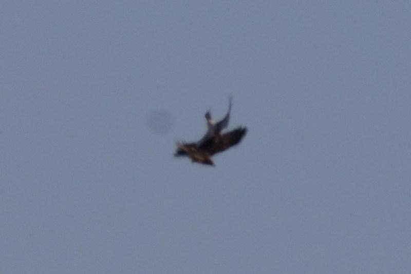 _DSC6461  Harrier vs Rough Legged Hawk