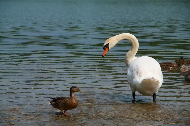 лебеди Городищенского озера, Изборск, Россиия