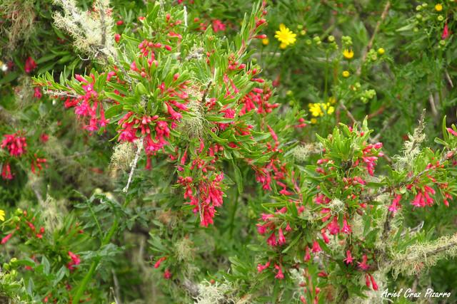 Palo de Yegua / Chilco del Norte (Fucshia Lycioides)