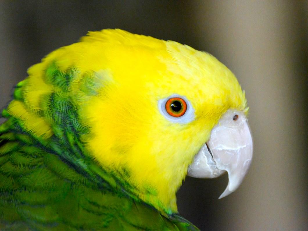 Imagen gratis de un loro amarillo