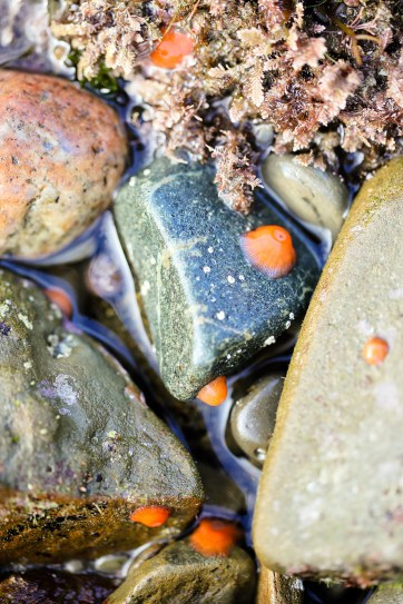 Brooding Anemones at Cabrillo National Monument Tide Pools in San Diego.