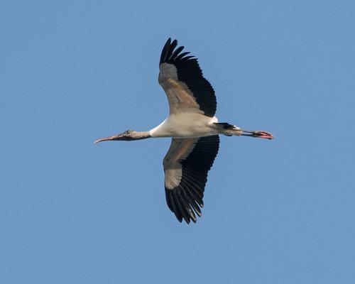 Stork_8793
