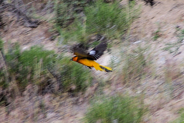 Male Bullock's Oriole, Pathfinder Reservoir, Wyoming, July 2010