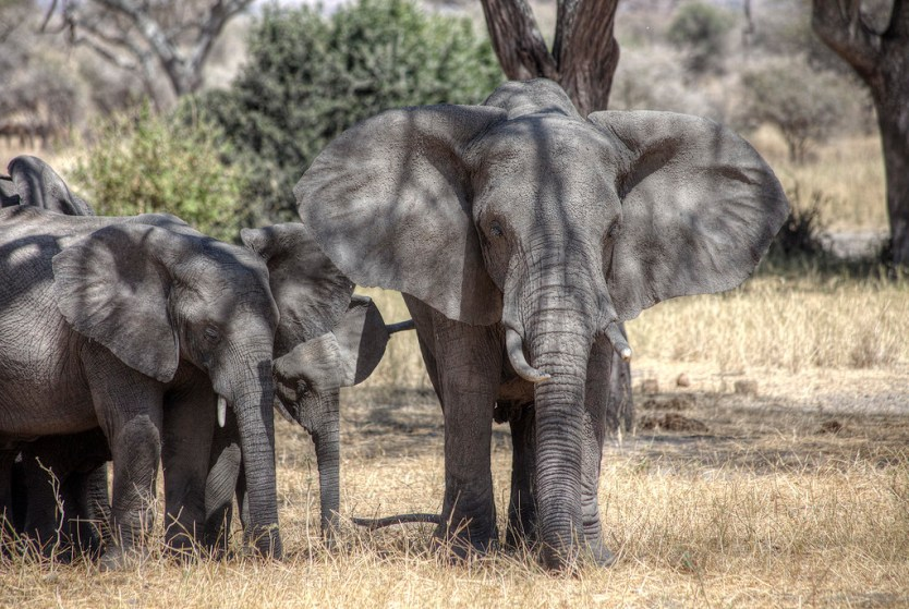 A bull elephant looking after his family in Tarangire National Park.