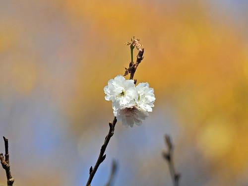 Cherry Blossoms(Kobukuzakura) at Winter, Tokyo, Japan