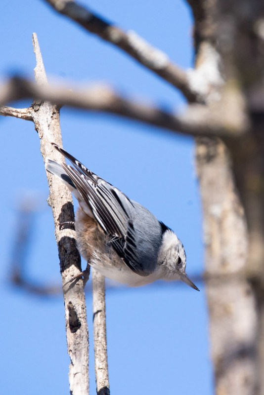 _DSC6552 White-breasted Nuthatch