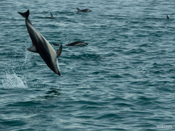 Dolphin Encounter, Kaikoura