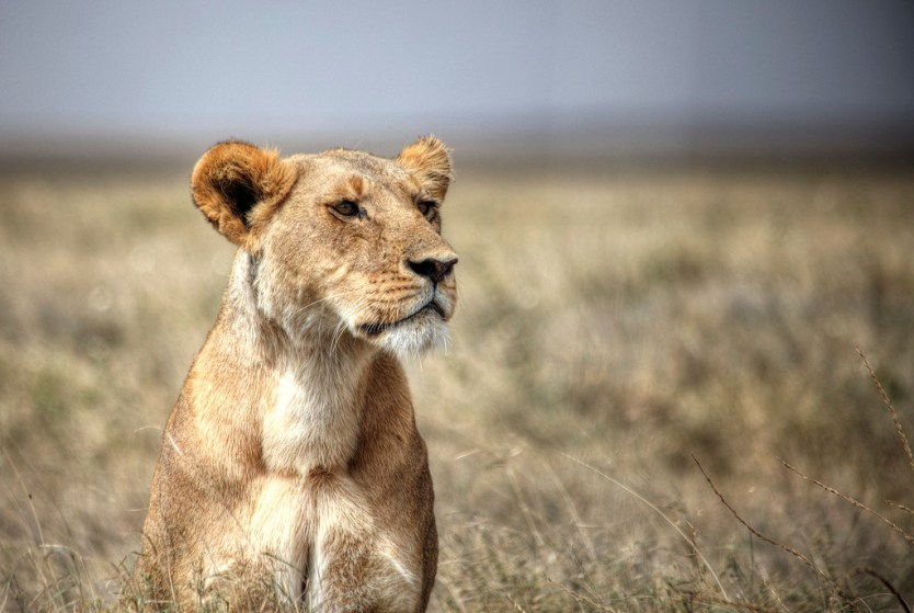 Lioness in Serengeti National Park.