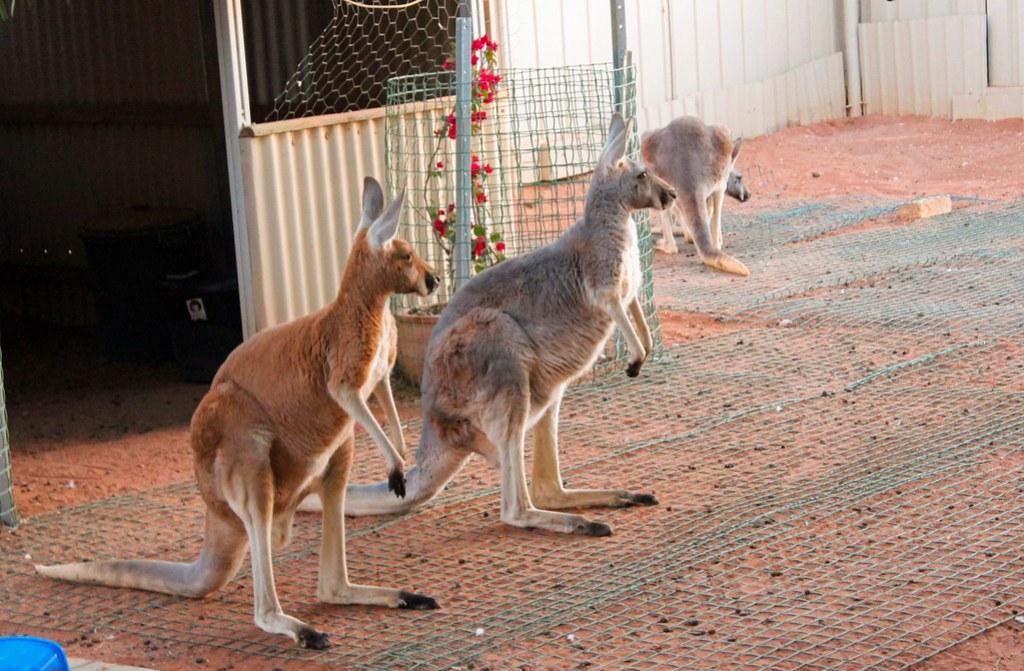 kængurubørnehjem