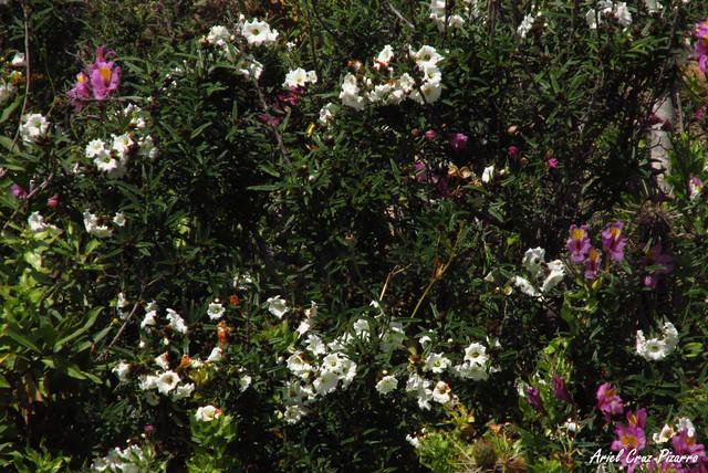 Carbonillo (Cordia decandria) - Desierto Florido