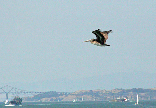 Flight of the Pelican by webmink