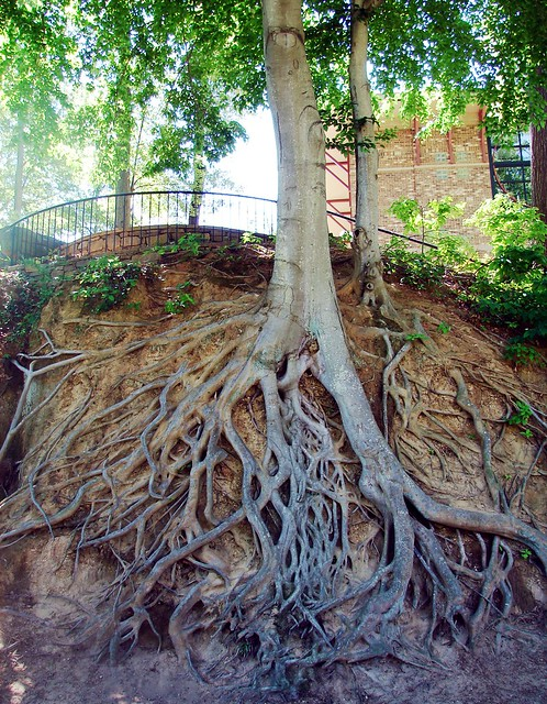 Exposed gnarly roots in Fall River Park