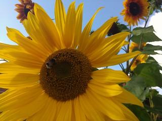 Sunflower symbool MH17