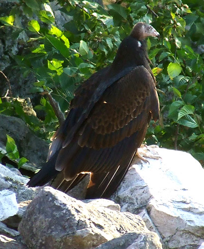 Juvenile turkey vulture getting ready to head up into the roost tree