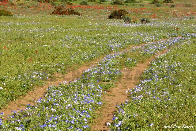 Suspiro de Campo (Nolana Paradoxa) - Desierto Florido Costero
