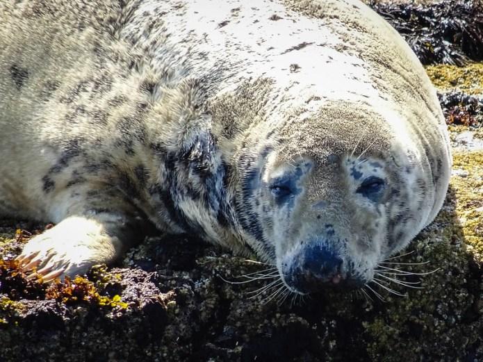 Seal on the Farne iIslands