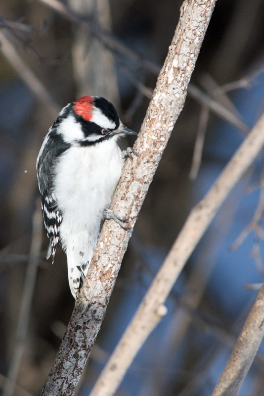 _DSC6201 Downy Woodpecker