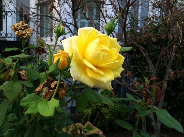 Yellow rose of S street