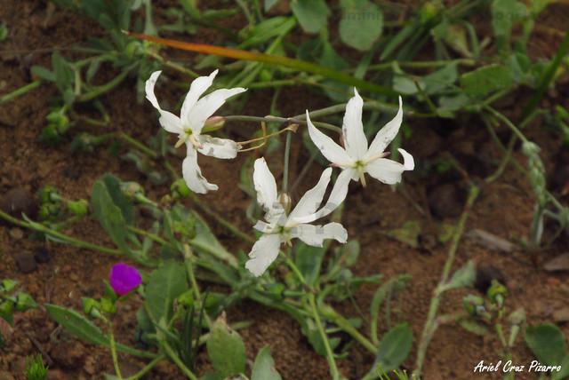 Desierto Florido - Cebolleta / Huille (Leucocoryne appendiculata)