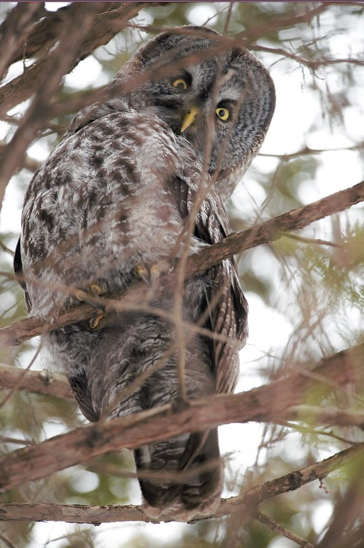 _DSC6091 Great Grey Owl