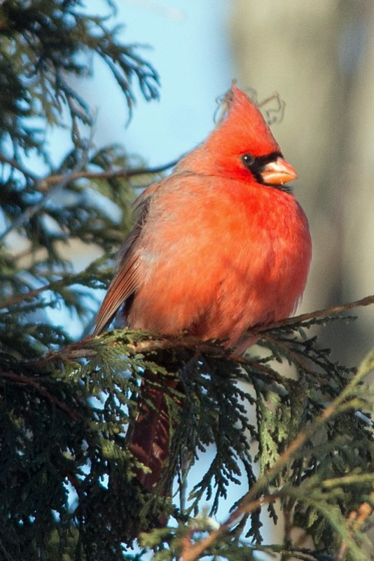 _DSC6159 Northern Cardinal