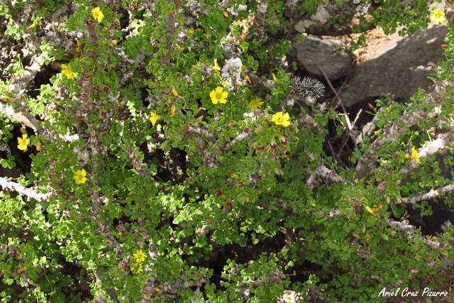 Churco (Oxalis gigantea) - Desierto Florido