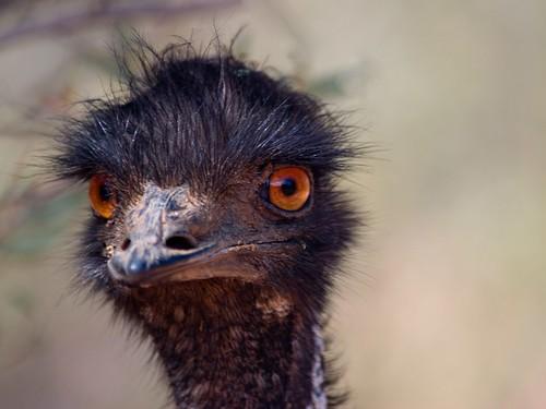 Inquisitive Emu