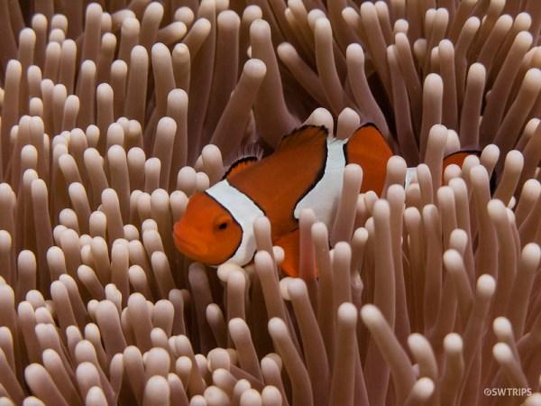 Nemo, Great Barrier Reef