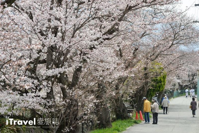 《京都赏樱景点》山科疏水陌上樱花开,享受晨光洒落的静谧美景