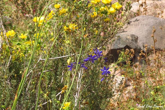 Azulillo (Pasithea caerulea) - Desierto Florido