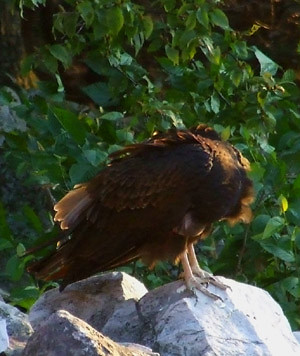 Juvenile turkey vulture grooming itself at the edge of a talus slope